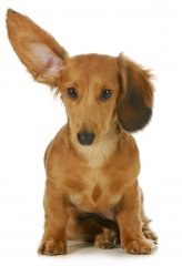 Dog_with_one_ear_up_Fotosearch_k12090055