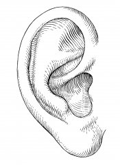 Ear_RIGHT_Foto31c9599b7b